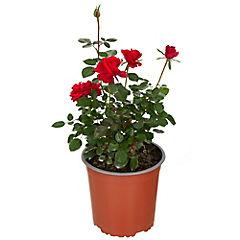 Rosa hybrida 0,3 m exterior