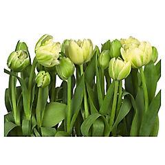 Papel fotomural Tulipán 368x254 cm