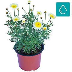 Argyranthemum frutescens 0,1 m exterior