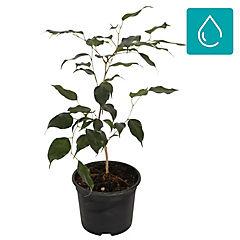 Ficus benjamina exótica 0,8 m