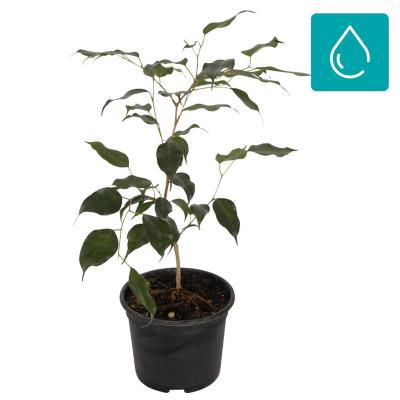 Ficus benjamina 0,8 m interior - Sodimac.com