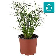 Cyperus spp 0,3 m exterior