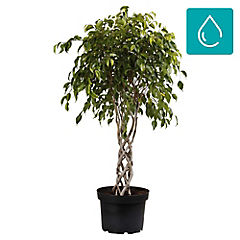 Ficus benjamina 0,7 m interior