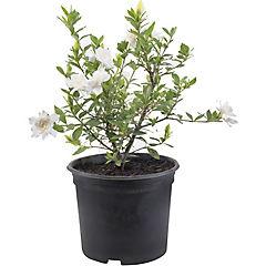 Gardenia jasminoides 0,2 m interior