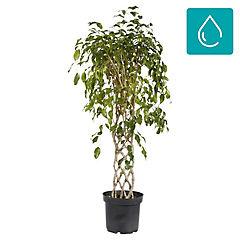 Ficus benjamina espalder 0,7 m