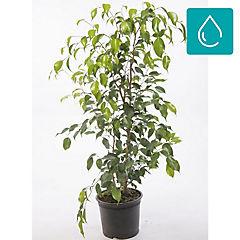 Ficus benjamina 1,2 m interior
