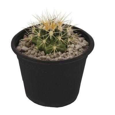 Planta cactus bola de oro