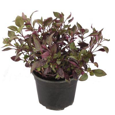 Planta alternanthera red