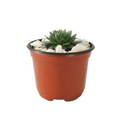 Planta crasulácea setosa variedad mínima