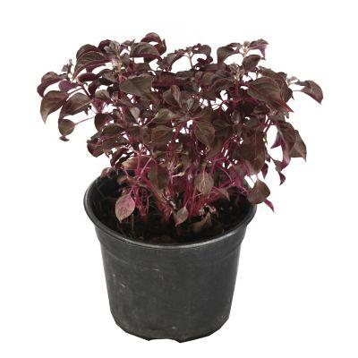 Planta amaranto