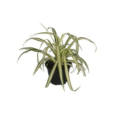 Planta clorophito