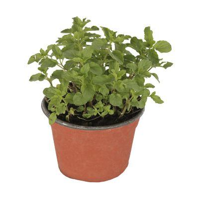 Planta hierbabuena