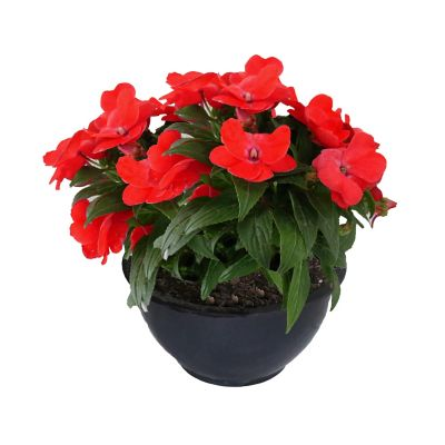 Planta belén Nueva Guinea rojo colgante