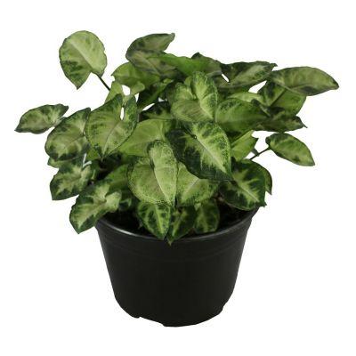 Planta singonio