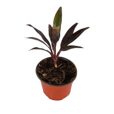 Planta dracena naomi