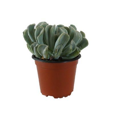 Planta crasulácea runyonii topsy turvy