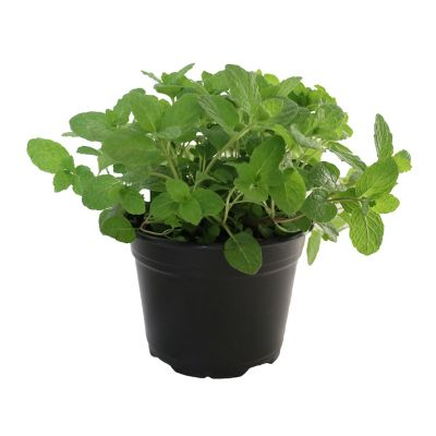 Planta menta
