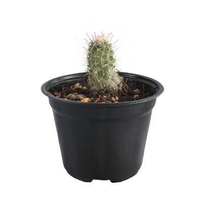 Plantas cactus mammilliara pringlei
