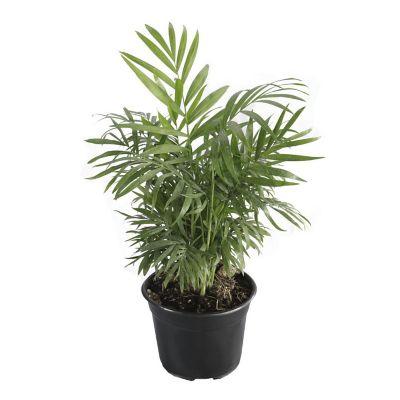 Planta palma camedor