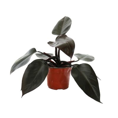 Planta philodendron new red