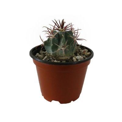 Plantas cactus notocactus lastispinus