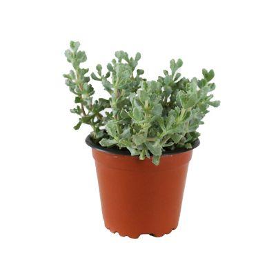 Planta crasulácea graptope amethystinum