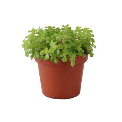 Planta echeveria sedum comfusum