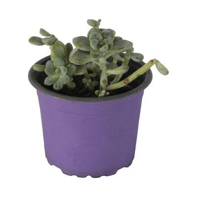 Planta crasulácea blue