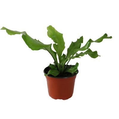 Planta helecho antiquum