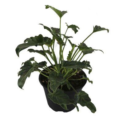 Planta philodendron xanadu