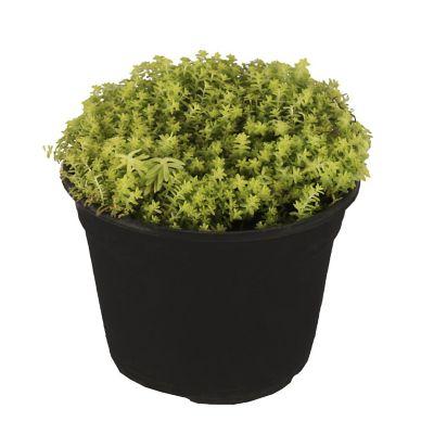 Planta sedum