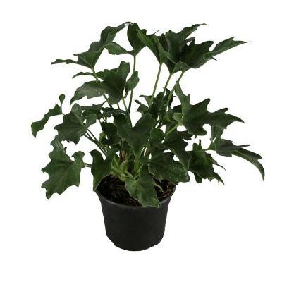 Planta philodendron sellum