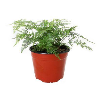 Planta helecho cuero