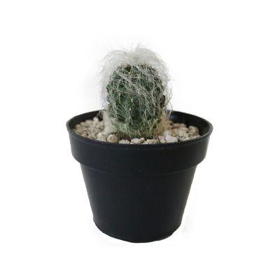 Planta cactus cephalocer senilis