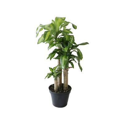 Planta palo de Brasil