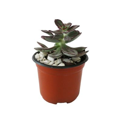 Planta crasulácea nodulosa