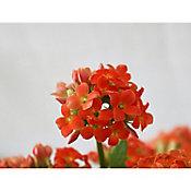 Planta kalanchoe anaranjado