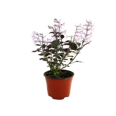 Planta monalisa