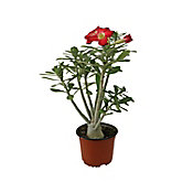 Planta adenium flor sencilla