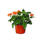 Planta crossandra coloress M6