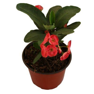 Planta euphorbia