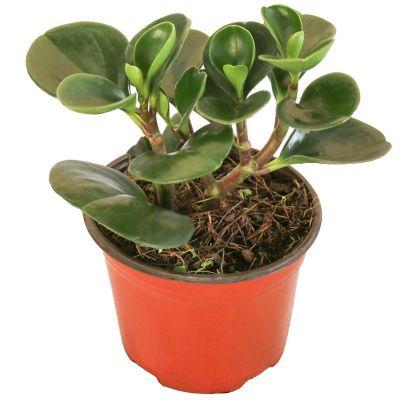 Planta peperomia verde