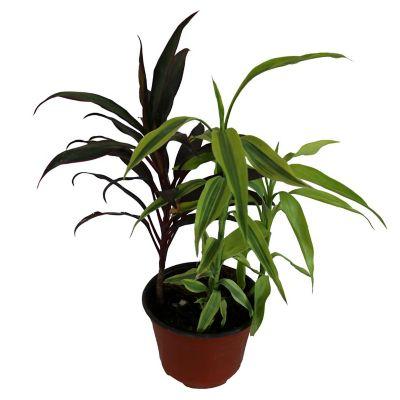 Planta dracaena sanderiana