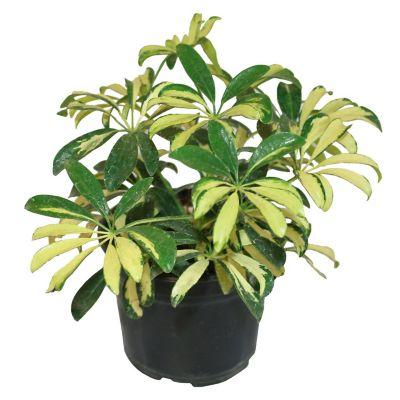 Planta arboricola mini gold