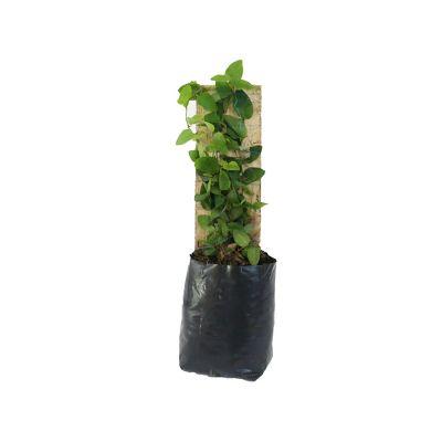 Planta moneda verde con tutor