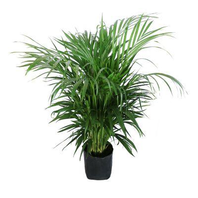 Planta palma areka