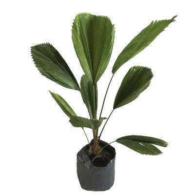Planta palma licuala
