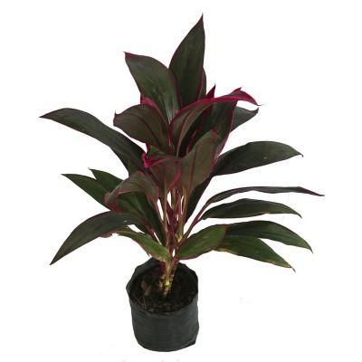 Planta drácena roja