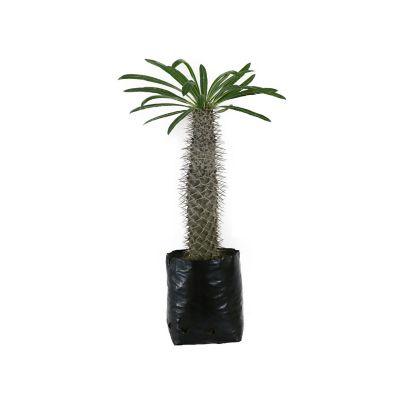 Planta pachipodium
