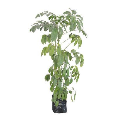 Planta aralea scheflera